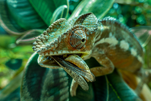 Chameleon hunts insects in the wild nature of Madagascar close up