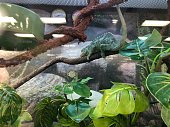 Chameleon in a tank