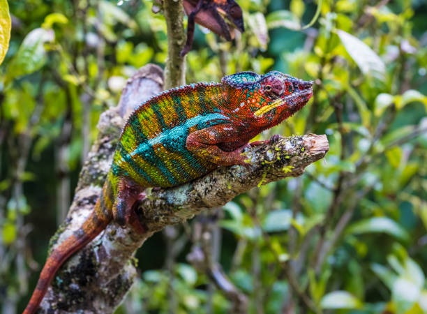 Chameleon in the primeval forests of the Andasibe National Park, Eastern Madagascar stock photo