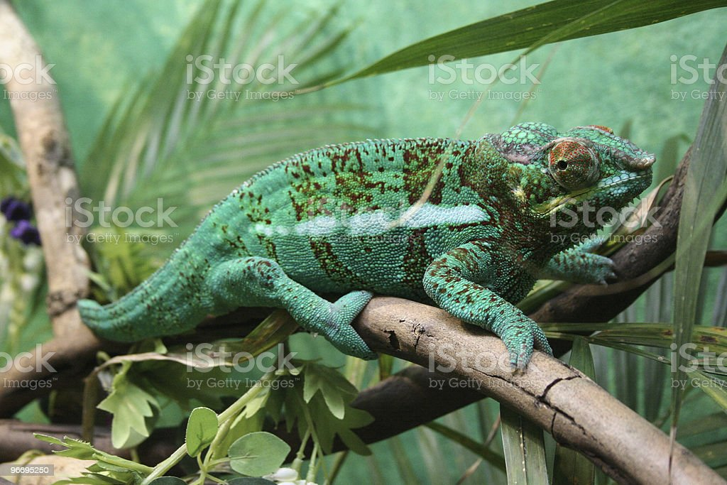 Chameleon keeping a watchful eye stock photo