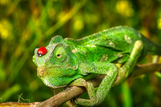 chameleon ladybug and tree frog stock photo