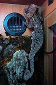 Chameleon lizard in an indoor terrarium. Camouflage tropical lizard inside of glass box.