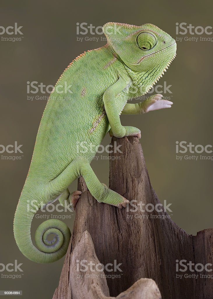 Chameleon looking down a hollow log stock photo