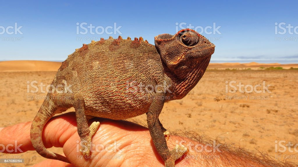Chameleon Namibian desert African ground animal reptile wildlife...