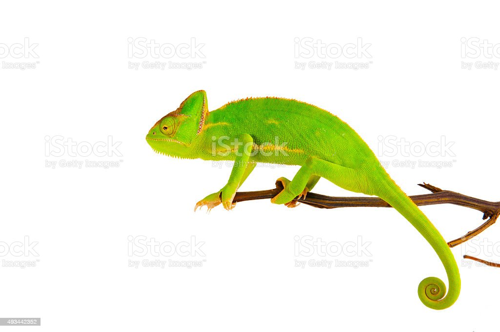 Chameleon on a branch stock photo