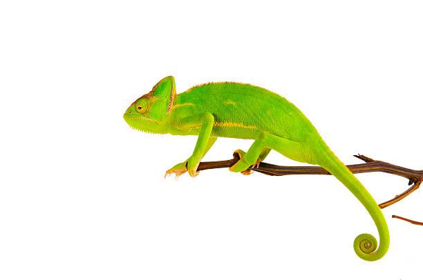 kameleon na oddział - kameleon zdjęcia i obrazy z banku zdjęć