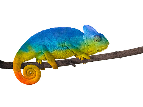 Chameleon on a branch with a spiral tail. Blue with yellow