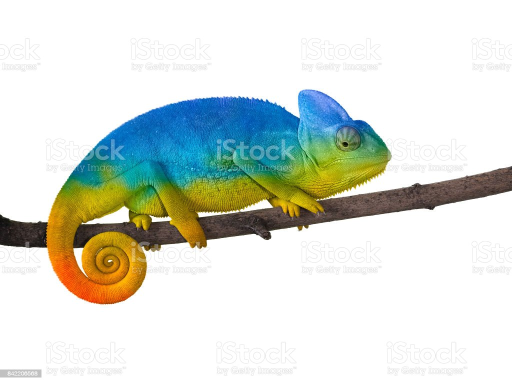 Chameleon on a branch with a spiral tail. Blue with yellow стоковое фото