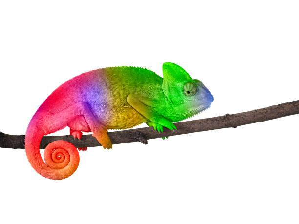 chameleon on a branch with a spiral tail. bright colorful rainbow color scales - kameleon zdjęcia i obrazy z banku zdjęć