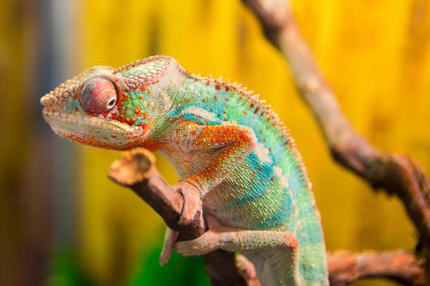 caméléon sur la succursale - animaux familiers exotiques photos et images de collection