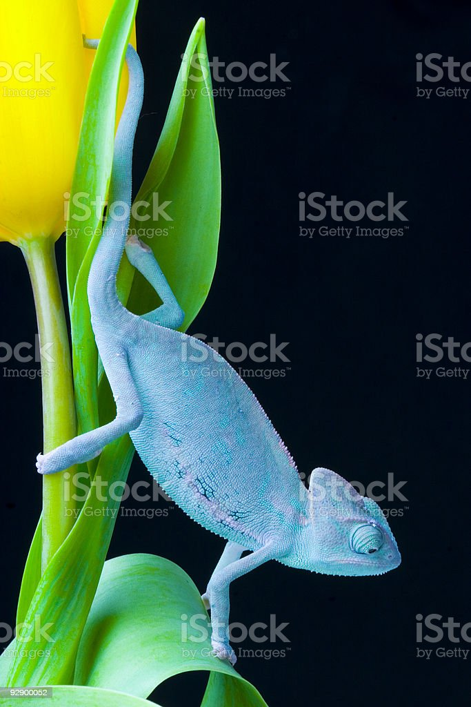 Chameleon on the tulip royalty-free stock photo