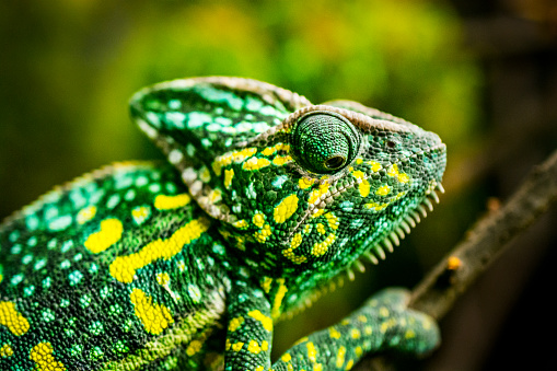 Close-up of a green chameleon on a tree. It is climbing up and looking down. Yellow and green stains provide him an excellent camouflage among green leaves. (shallow DOF)