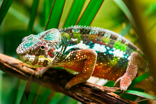 Close-up of a colorful chameleon on a tree. It is climbing slowly. Although it seems easily visible, vivid colors provide him an excellent camouflage in a tropical forest. (shallow DOF)