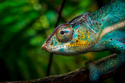 Close-up of a colorful chameleon on a tree. Although it seems easily visible, vivid colors provide him an excellent camouflage in a tropical forest. (shallow DOF)