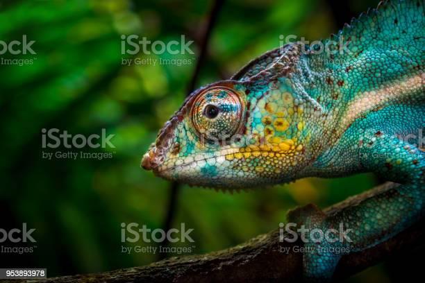 Chameleon on tree picture id953893978?b=1&k=6&m=953893978&s=612x612&h=ob7gj qgdw88 vyv93tlqm0tdgbu0lv68dzpcquz4sq=