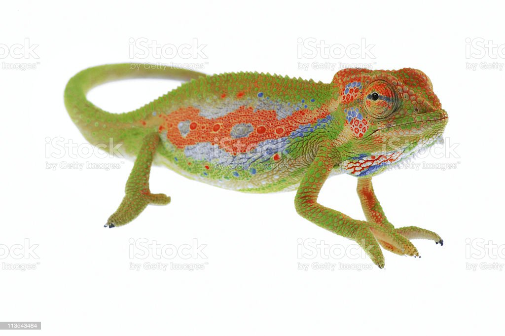 Chameleon on white stock photo
