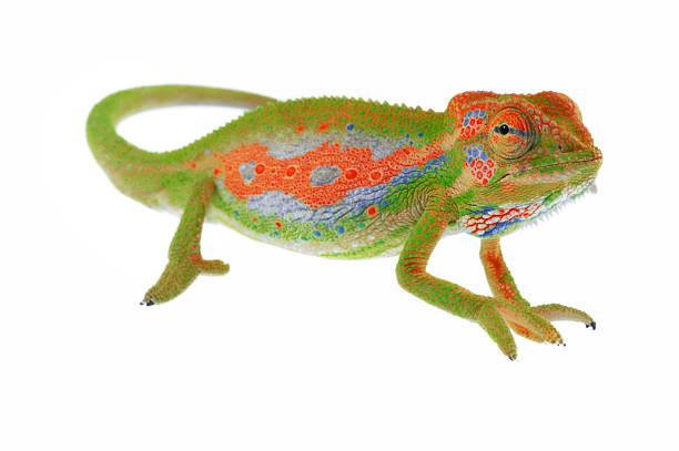 kameleon na białym - kameleon zdjęcia i obrazy z banku zdjęć