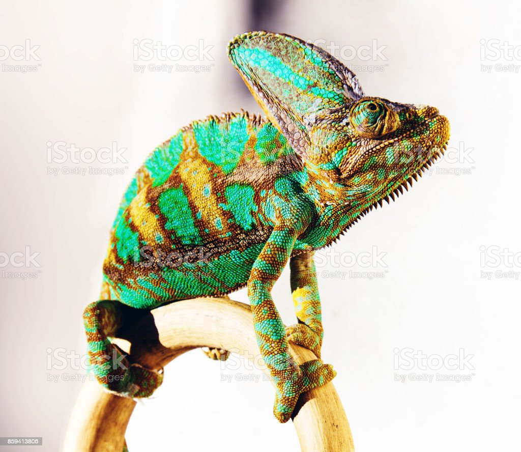 chameleon photo stock photo