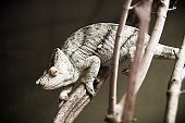 A chameleon climbing a branch looking on at visitors.