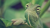 macro image of Chameleon face and eyes