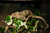 Chameleon sits on a branch in the terrarium