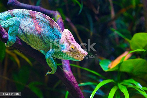Close up of a colorful Chameleon in wilderness of Singapore.
