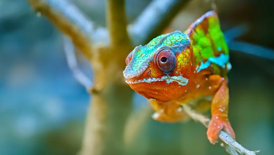 Leopardd Chameleon