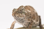 Chameleon on leaf isolate on white.