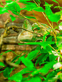 Chameleon is hiding from predators