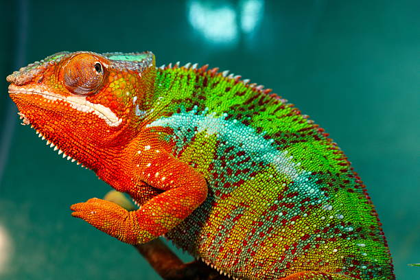 chameleon - kameleon zdjęcia i obrazy z banku zdjęć