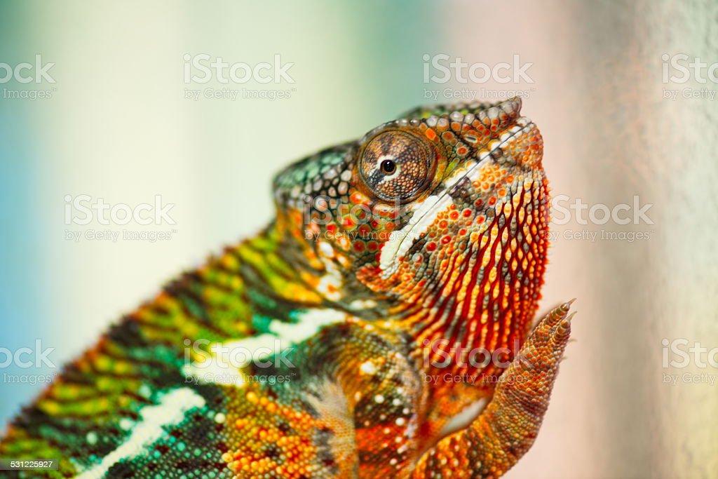 chameleon stock photo