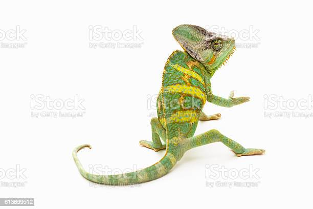 Chameleon picture id613899512?b=1&k=6&m=613899512&s=612x612&h=puqvtpdez6o3j2sp8sgttscnaatcxat 58gwbzgk2ls=