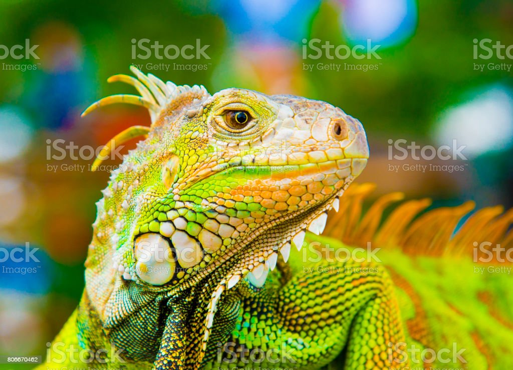 Caméléon - Photo