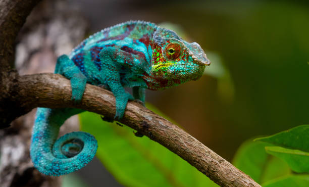 chameleon - changing form stock pictures, royalty-free photos & images