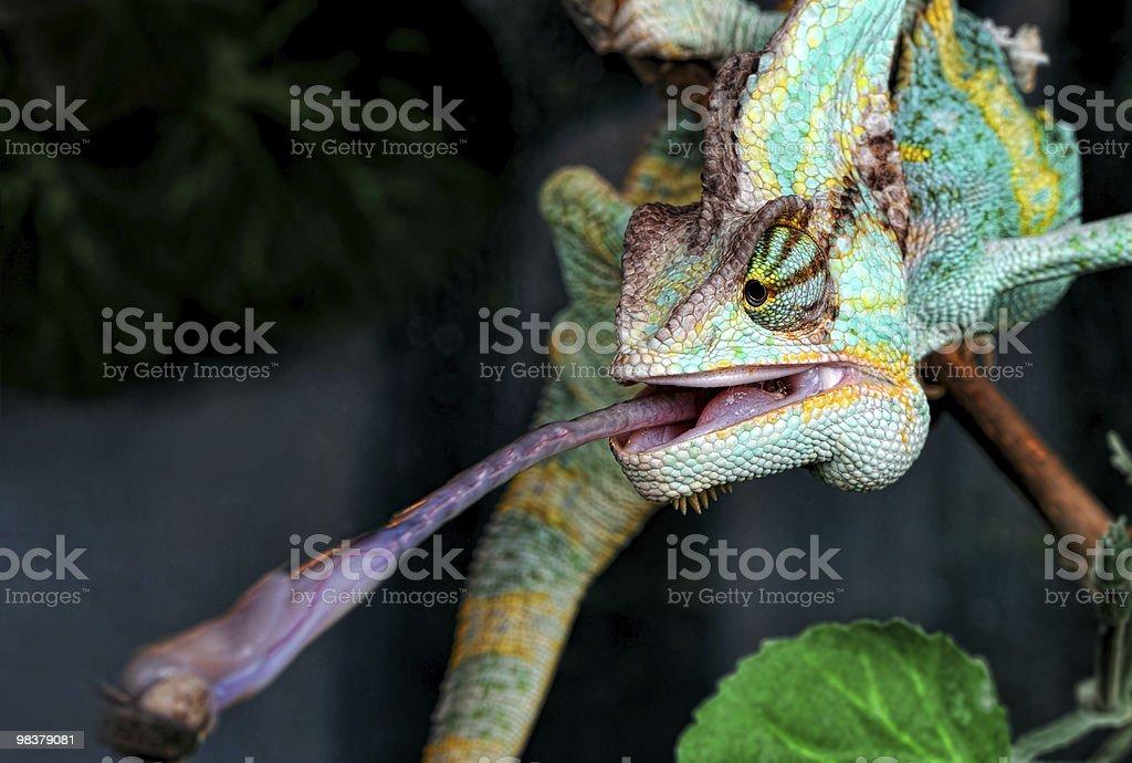 Chameleon royalty-free stock photo