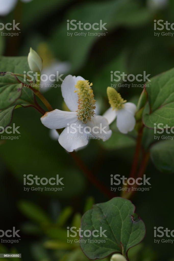 Roślina kameleona - Zbiór zdjęć royalty-free (Azja)
