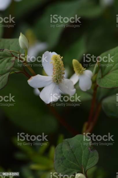 Roślina Kameleona - zdjęcia stockowe i więcej obrazów Azja