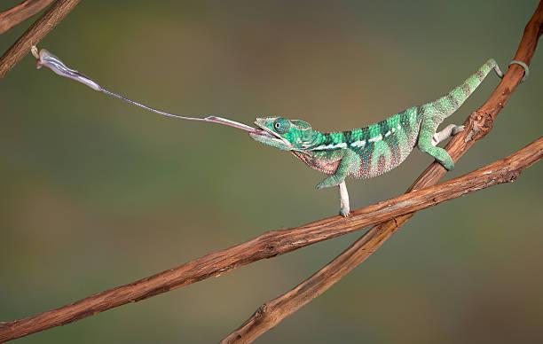 chameleon bambusów na język - kameleon zdjęcia i obrazy z banku zdjęć
