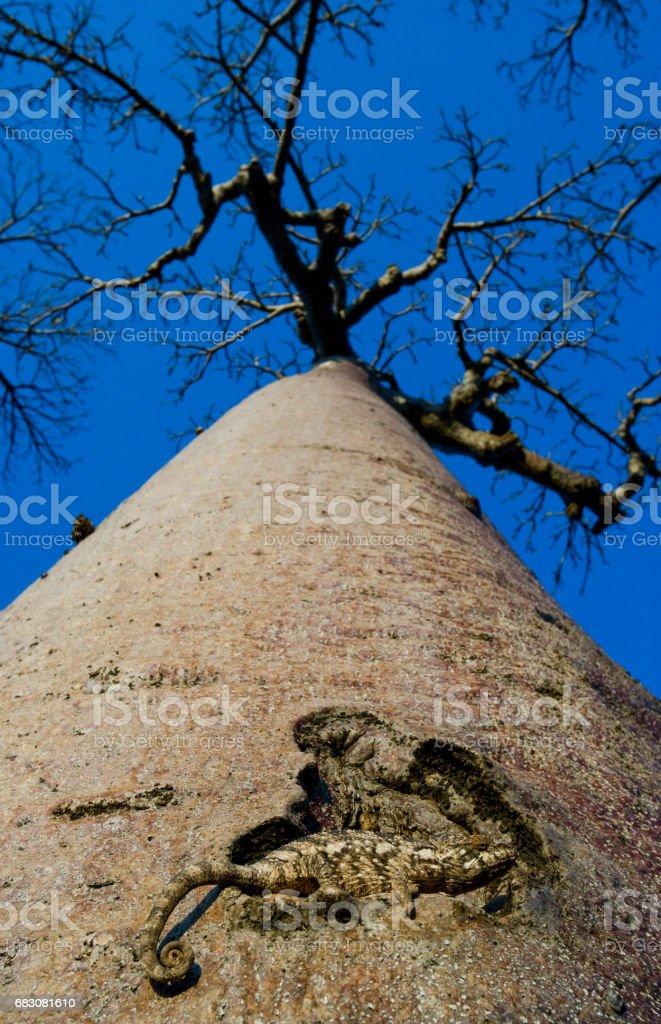 Chameleon sitting on a baobab. zbiór zdjęć royalty-free