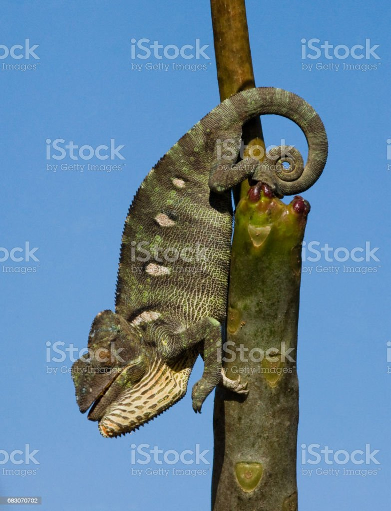 Chameleon sitting on a branch. foto de stock royalty-free