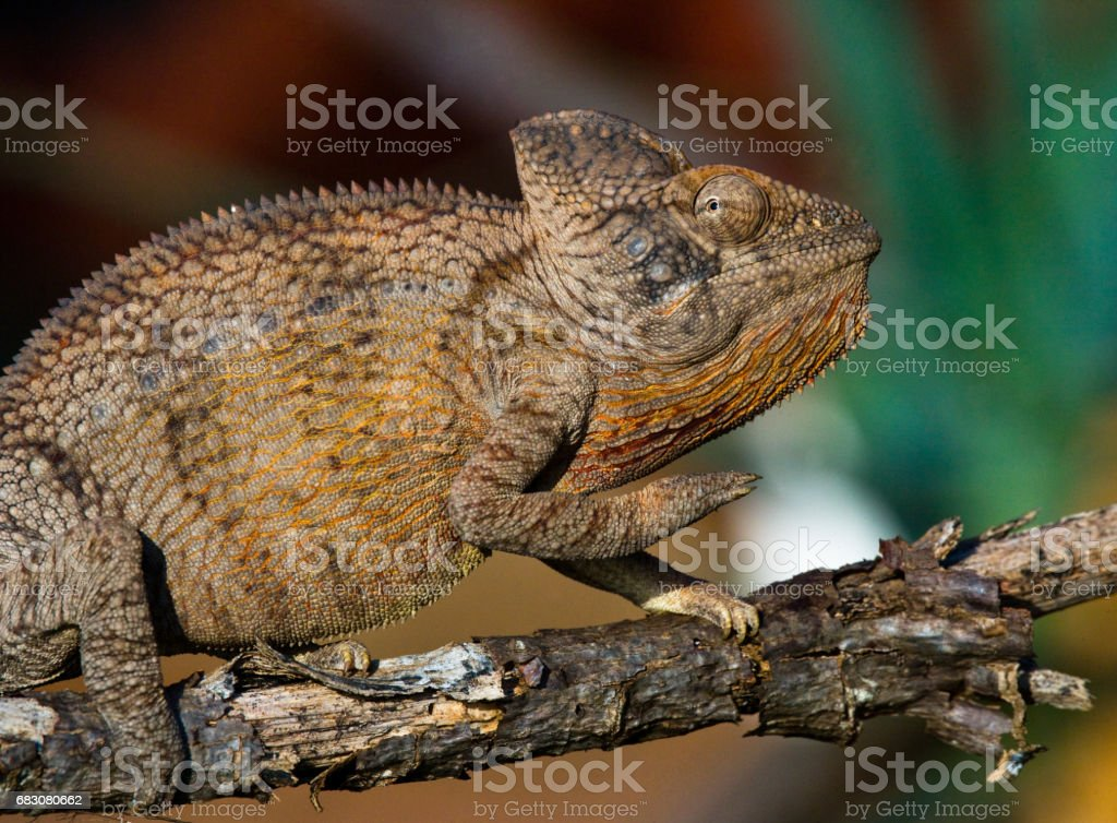 Chameleon sitting on a branch. foto de stock royalty-free