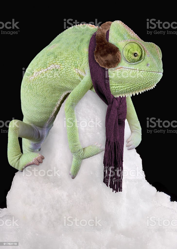 Chameleon wearing scarf and ear muffs royalty-free stock photo