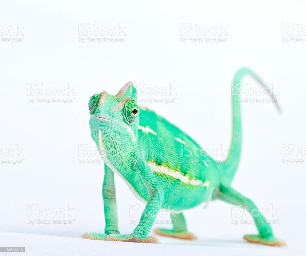 Chameleon with sad expression stock photo