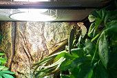 Couple of Chameleons inside a terrarium.