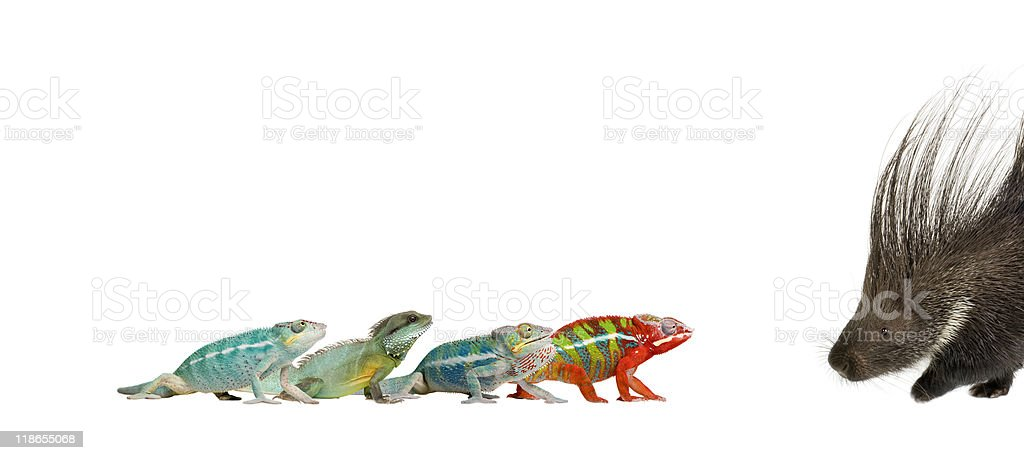Chameleons walking towards each other against white background stock photo