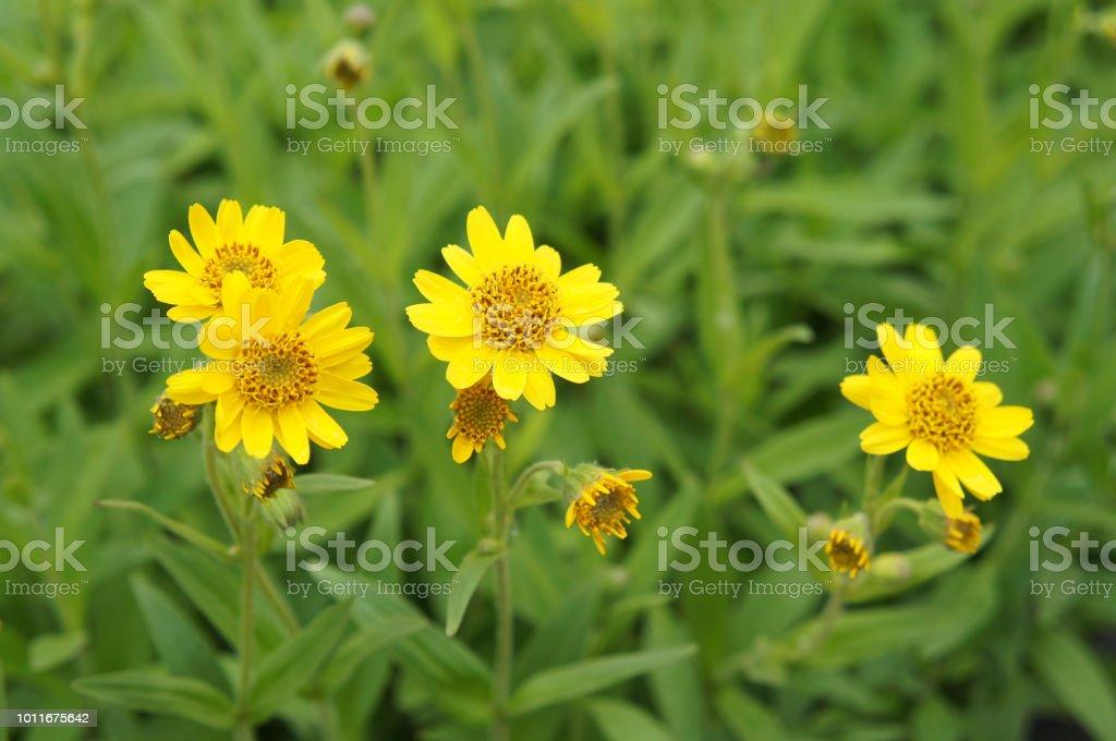 Flores de arnica amarelo Chamisso - foto de acervo