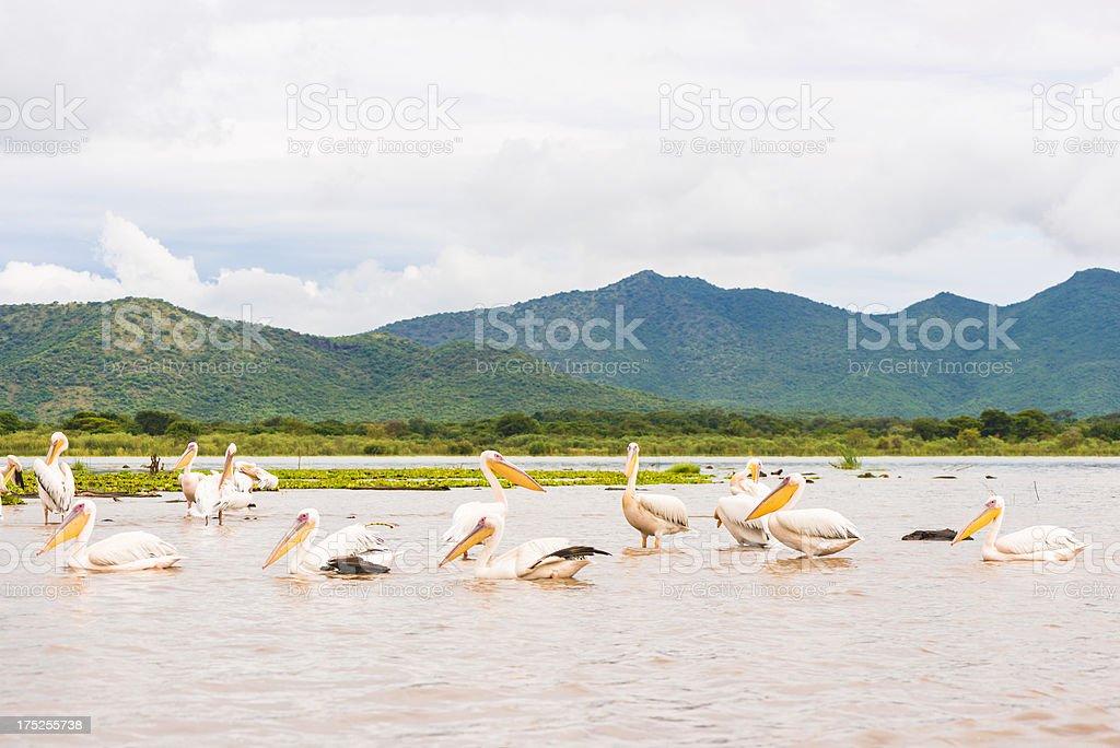 Chamo Pelicans stock photo