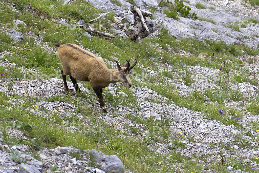 Chamois (Rupicapra rupicapra) in the Mountains royalty-free stock photo