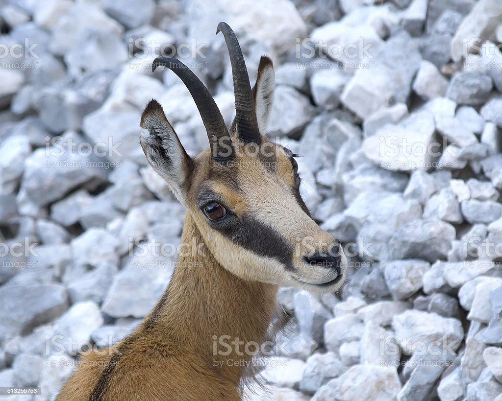 Chamois (Rupicapra rupicapra) stock photo