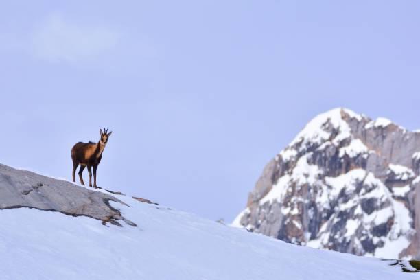 Chamois in the snow – zdjęcie